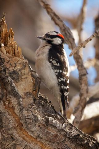 A Downy Woodpecker at Work