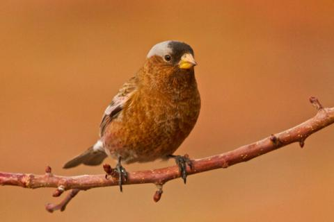 A Slightly Rosy Gray-Crowned Rosy-Finch