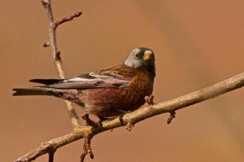 A Rosy Gray-Crowned Rosy-Finch