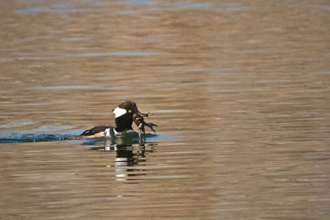 A Hooded Merganser Catches a Seafood Lunch