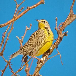 A Western Meadowlark