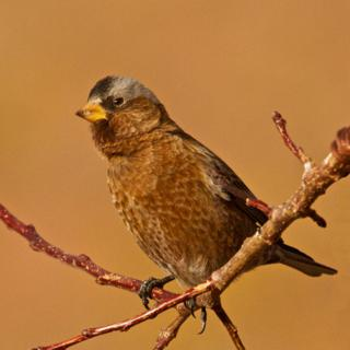 An Un-rosy Gray-Crowned Rosy-Finch