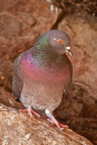 A Rock Dove at the Red Rocks Amphitheatre