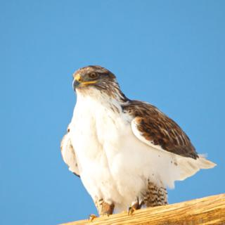 A Ferruginous Hawk Gets Ready to Fly