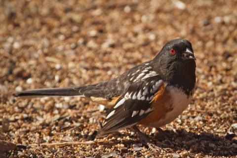 A Spotted Towhee Eats
