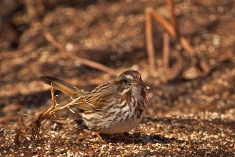 A Song Sparrow Drops a Seed or a Shell