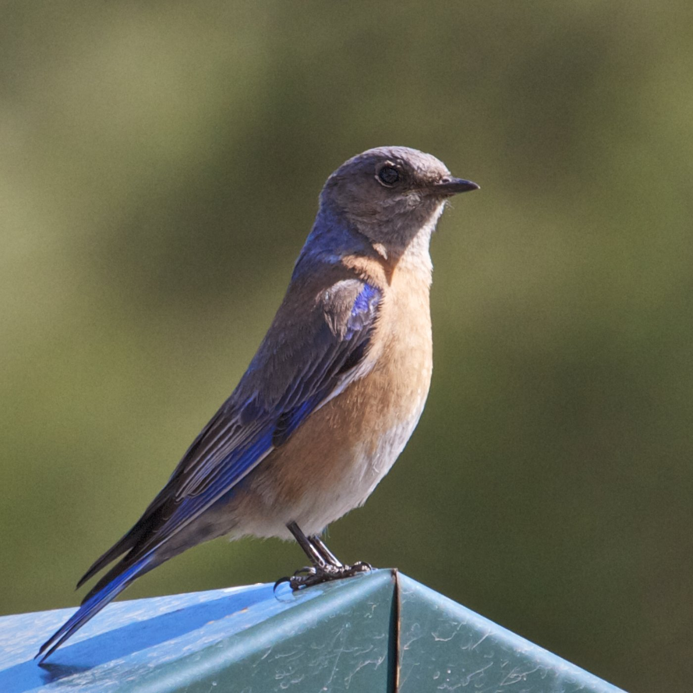 the mountain bluebird essay Learn how to identify mountain bluebird, its life history, cool facts, sounds and calls, and watch videos male mountain bluebirds lend a bit of cerulean sparkle to.