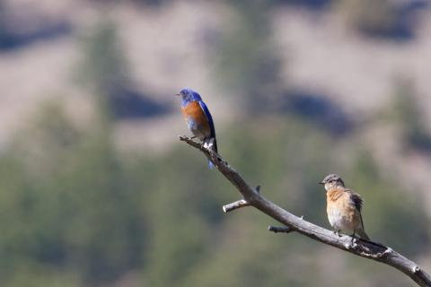 A Pair of Western Bluebirds on a Branch