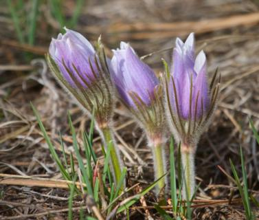Three Pasque Flowers Ready to Bloom