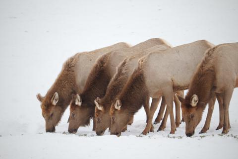 Elk Eat