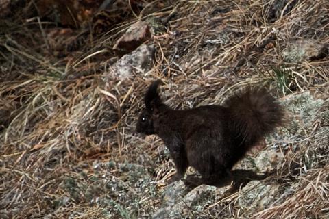 An Abert's Squirrel Seeks Shelter
