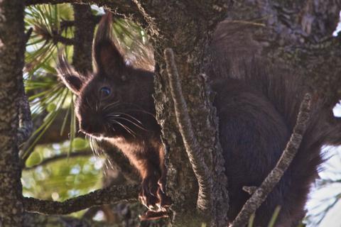 An Abert's Squirrels Tries to Hide in a Ponderosa Pine