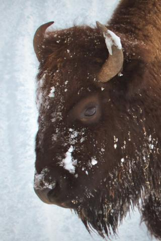 A Bison Closeup