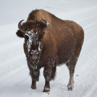 Is this Bison Going to Charge? I Think She Would Just Like Us to Get Out of Her Way