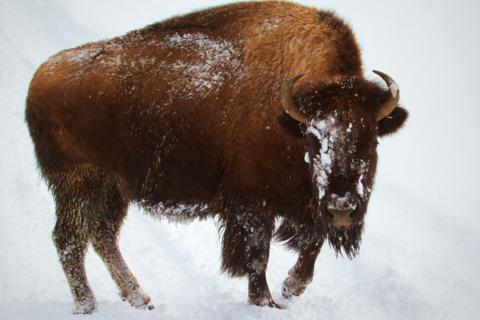 A Bison Cow in Classic Winter Snow