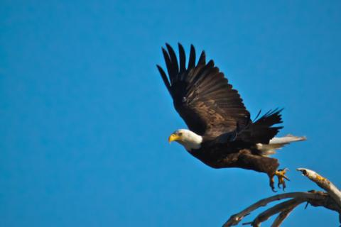 The Bald Eagle Flies Away