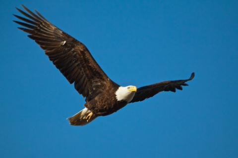 The Bald Eagle Flies Back
