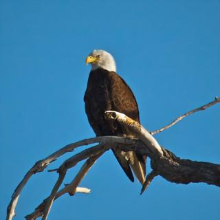 A Bald Eagle Waits