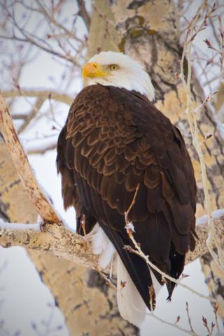 A Bald Eagle Looks for Prey