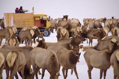 Feeding the Elk -- Not Shooting Them