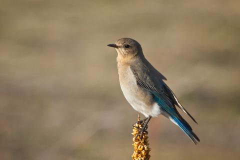 A Female Western Bluebird is Less Blue