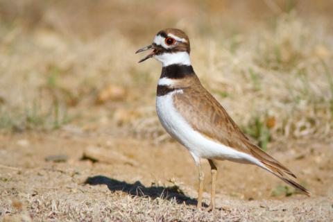 A Killdeer Calls