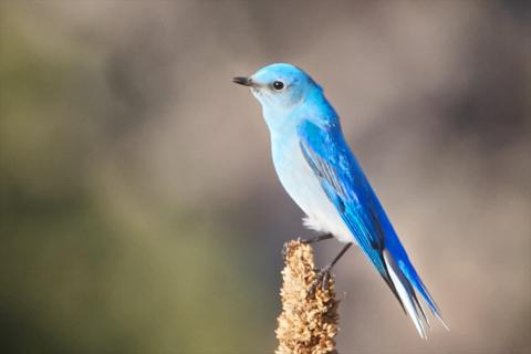 A Male Mountain Bluebird Rests