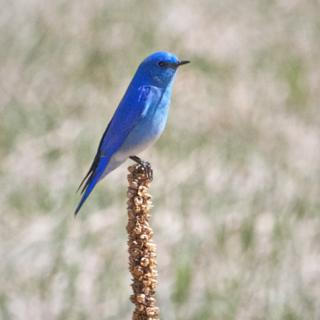 A Male Mountain Bluebird Rests on a Mullein Stalk