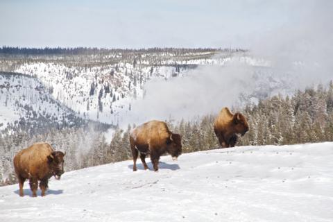 Three Bison Amble Over a Rise