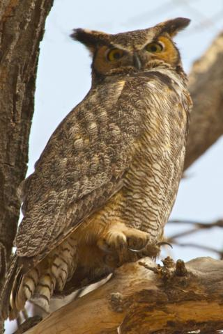 A Great Horned Owl Looks Down on Me