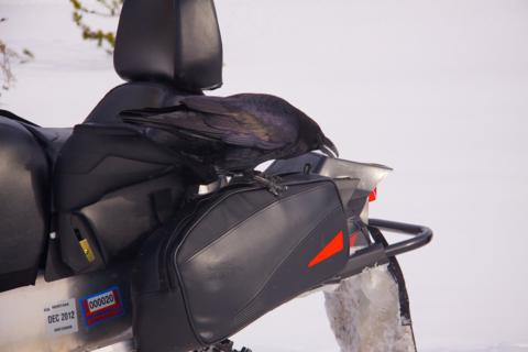 A Raven Attacks a Snowmobile