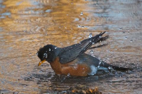 An American Robin Takes a Bath