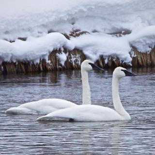 A Pair of Trumpeter Swans on the Firehole River