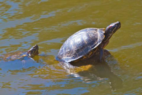 Two Western Painted Turtles in Tantra Lake
