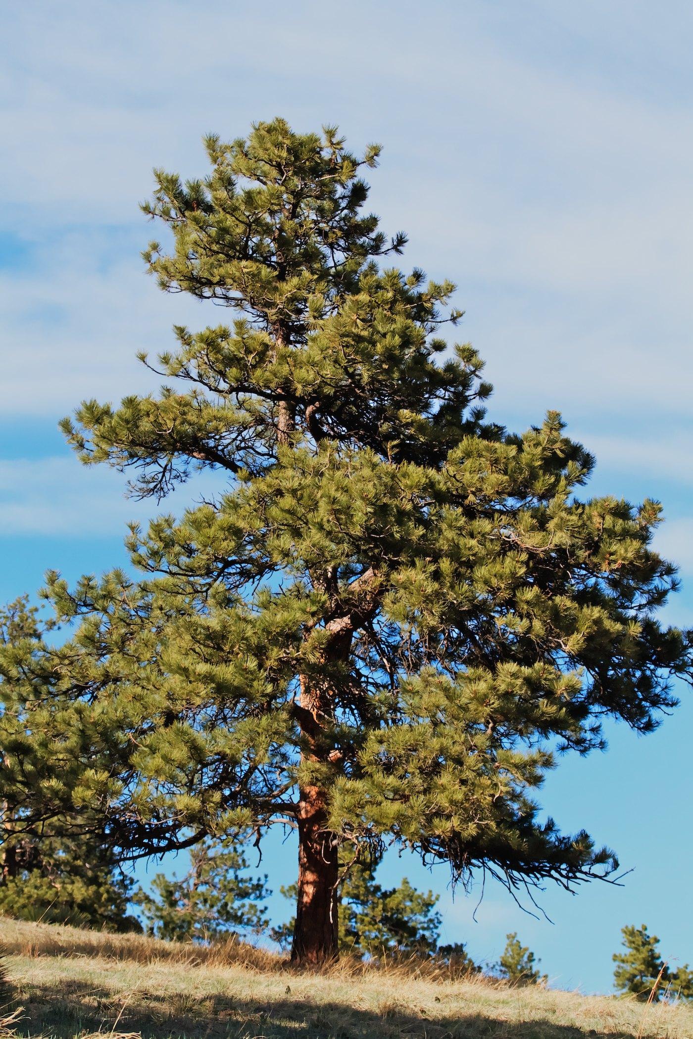 Ponderosa Pine Tree Images Betasso's Ponderosas