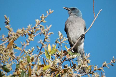 A Mexican Jay Eats Lots of Seeds