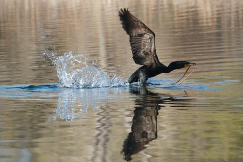 The Cormorant is Airborne