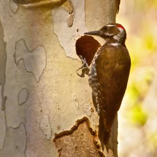 An Arizona Woodpecker at its Nest in a Sycamore Tree