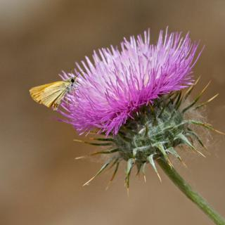 A Butterfly on Native Thistle
