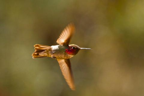 A Male Broad-tailed Hummingbird