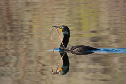 A Double-crested Cormorant Carries Nesting Material