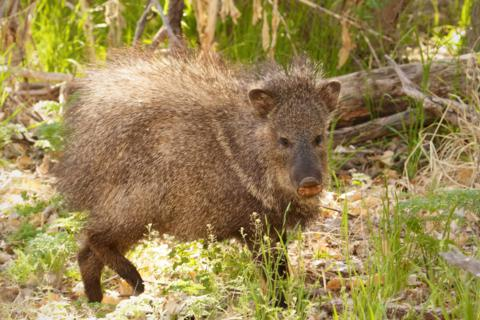 This Javelina May Look Cute, but I Made Sure Not to Get Too Close