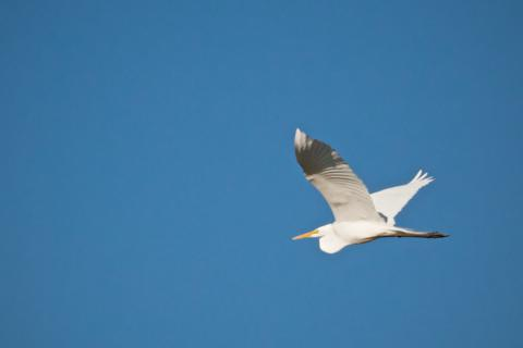 A Great Egret Flies Over