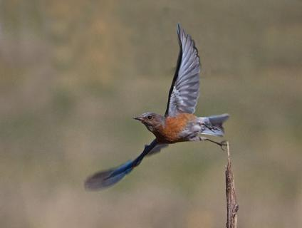 A Female Western Bluebird Flies