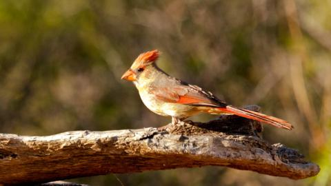 A Female Desert Cardinal, er Pyrrhuloxia, at the Feeders