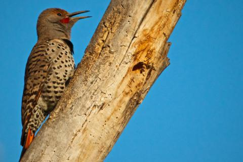A Red-shafted Northern Flicker Calls