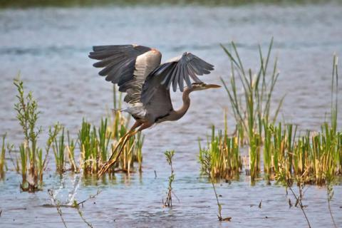 A Great Blue Heron Takes Off