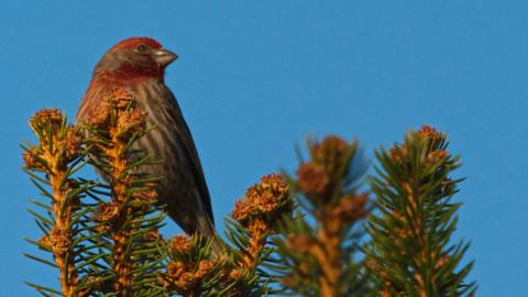 An Adult Male House Finch Perches on Top