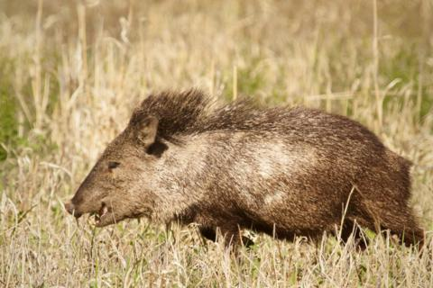 A Different Javelina Eats