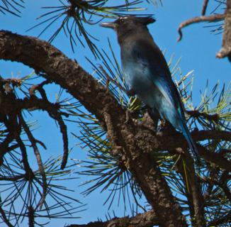 A Steller's Jay Rests in a Ponderosa Pine Tree